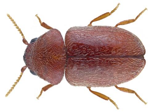 乾燥食材を狙う害虫シバンムシが巣食う汚部屋の片付けサポート トリプルエス
