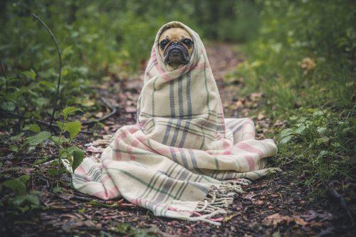 毛布にくるまって暖を取る犬